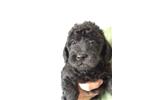 Picture of Bruno the Mini Labradoodle!