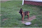 Picture of Belgian Malinois From Imported Working Bloodlines