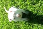 Picture of Big white mini male
