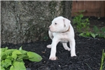 Picture of NKC American Bulldog male puppy for sale