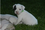 Picture of NKC American Bulldog puppy for sale