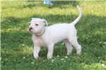 Picture of NKC American Bulldog female puppy for sale
