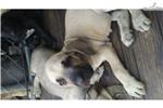Picture of Big Bad Fila Pups