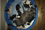 Picture of Pitbull puppies