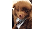 Male Pomapoo 9 Weeks OLD | Puppy at 10 weeks of age for sale