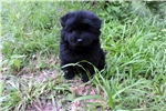 Picture of  Beautiful full A.K.C. Chow Chow Puppy!!!