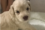 Adorable CKC Schnoodle Puppy! | Puppy at 8 weeks of age for sale