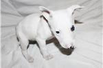 Picture of Miniature Bull Terrier - bricks