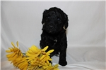 Picture of Ttoodle Puppy-Female