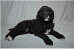 Poodle, Standard for sale