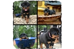 Picture of Champion European Bloodline Female Rottie For Sale