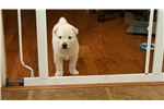 Jindo for sale