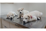 Picture of Jindo puppies