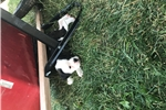 Picture of Valley Bulldog puppies