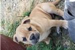 Picture of male Olde English Bulldogge Puppy