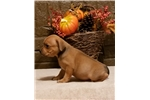 Staffordshire Bull Terrier for sale