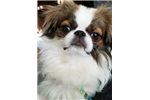 Picture of Havanese, Japanese Chin Puppy