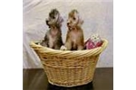 Bedlington Terrier for sale