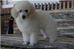 Picture of Cream Male Puppy