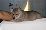 Picture of Wolf Husky Puppies  -Girl 3-