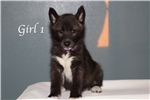 Picture of Wolf Husky Puppies  -Girl 1-