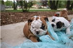 Picture of Male and Female Bulldog puppies