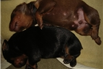 Picture of AKC Doberman Pinscher Puppy - Red/Rust Female