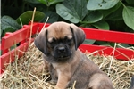 Picture of Second Generation Puggle