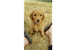 Picture of AKC Golden Retriver Puppy