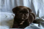 Picture of Pug puppy male