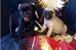 Picture of Pug puppy female