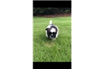 Picture of Imperial Shih-Tzu 11 week old female puppy
