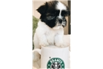 Picture of Imperial Shih Tzu female 11 weeks old