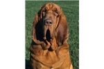 Picture of beautiful Bloodhound Pups, great temperaments