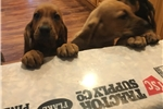 Picture of beautiful Bloodhound Pups, great experiments