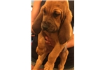 Picture of Bloodhound puppy for sale