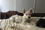 Picture of beautiful west highland white terrier Full AKC