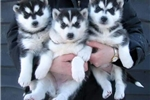 Picture of Amazing siberian husky puppies for adoptoins