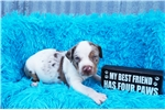 Picture of Catahoula White red leopard