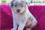 Picture of Toy Aussie female