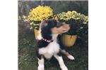 Picture of Purebred collie puppy