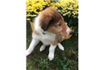 Picture of Purbred collie puppy