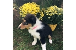 Collie for sale