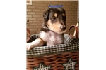 Picture of Rough coat collie puppy