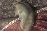 Picture of Rare Silver Pug