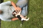 Treeing Walker Coonhounds for sale
