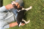 Picture of Treeing Walker pup
