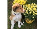 Picture of AKC Purebred Collie Puppy For Sale