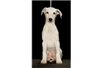 AKC Male White Whippet Puppy | Puppy at 13 weeks of age for sale