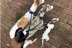 Picture of AKC Female White / Brindle Whippet Puppy